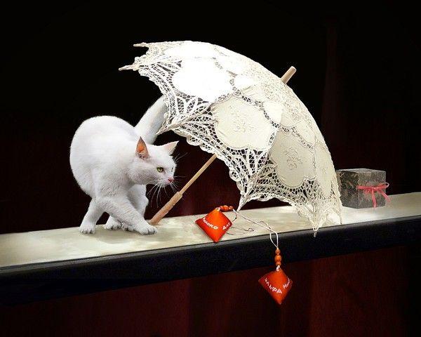 Chat blanc par Solla
